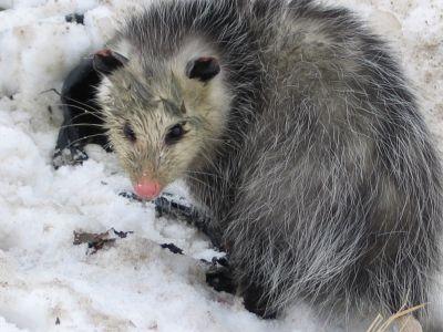 7 Possum By Jennifer Howard