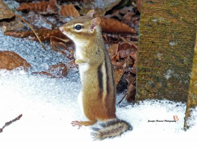 8 Chipmunk By Jennifer Howard
