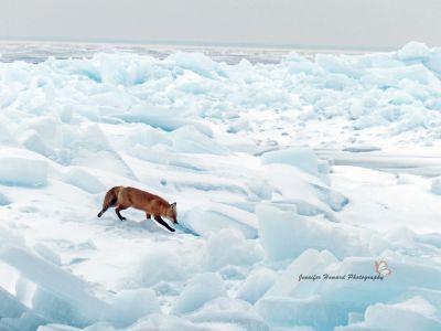 9 - Fox By Jennifer Howard