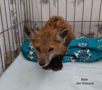 Bear The Fox