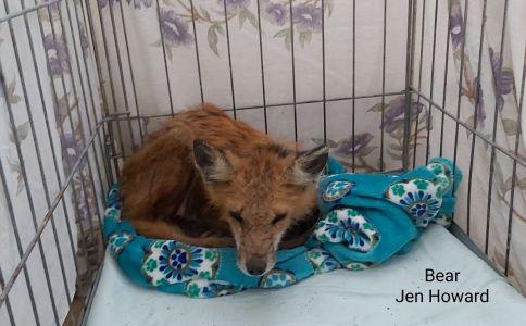 Bear The Fox 2
