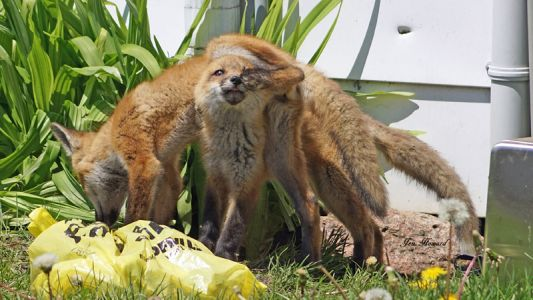 DSC03982 X Fox Kits Lefroy
