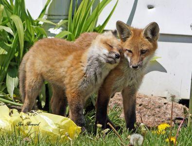 DSC04035 Lefroy Fox Kits