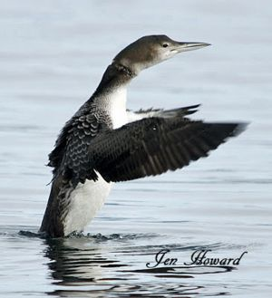Notice Fishing Line Around This Loons Neck