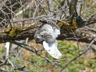 Dead Screech Owl Caught In Fishing Line Over A River During Mating Season