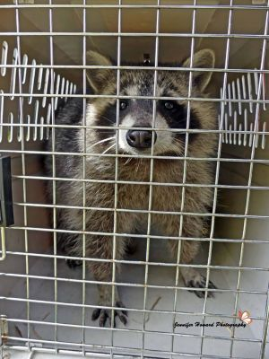 Rocky The Raccoon Released