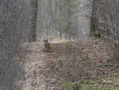 Samson The Coyote (17)
