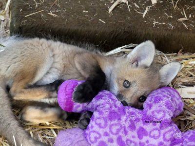 Talitha the Baby Fox