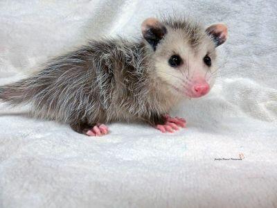 Baby Oppossum (2)