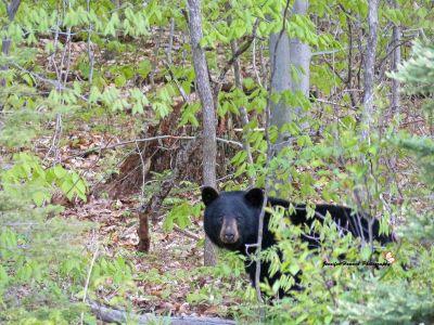 Bear 9
