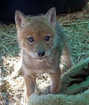 Coyote Pup 1