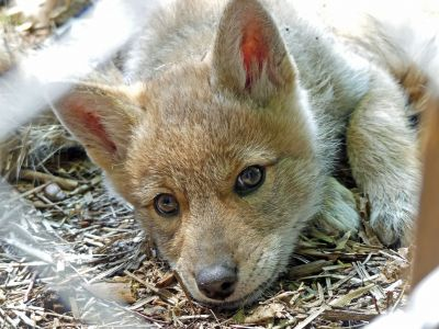 Coyote Pup 2