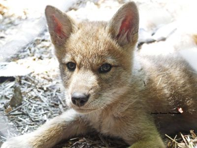 Coyote Pup 3