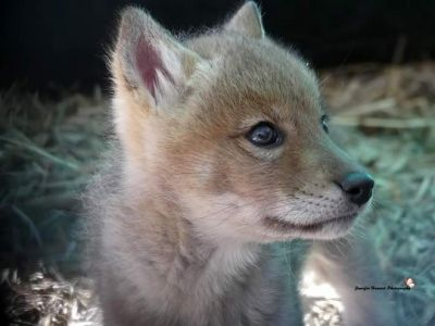 Coyote Pup 5