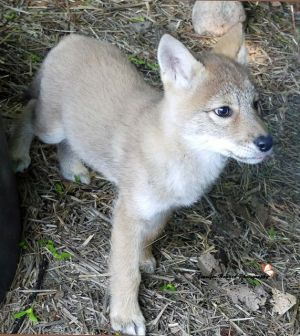 Coyote Pup 6
