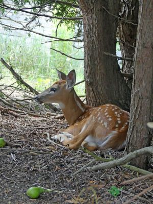 Fawns (7)