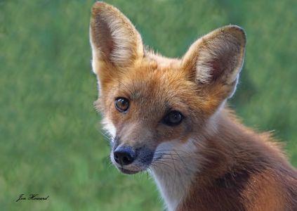 Fox Kits (2)