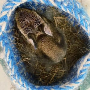 More Baby Bunnies Cared For By One Of Our Foster Parents (3)