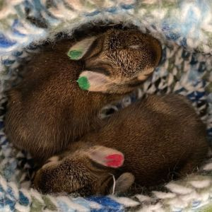 More Baby Bunnies Cared For By One Of Our Foster Parents (4)