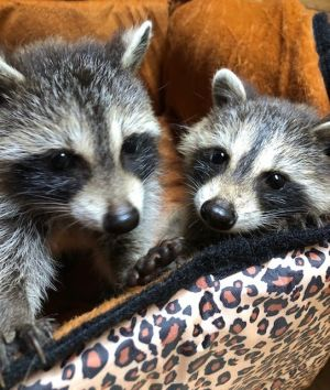 Orphaned Raccoons