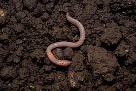 Procyon Earthworms