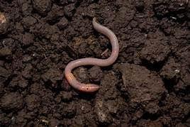 Procyon Earthworms