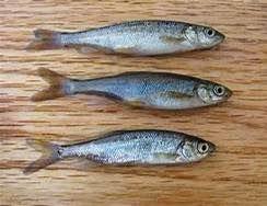 Procyone Fish