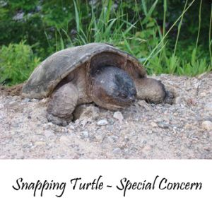 Snapping-turtle-03
