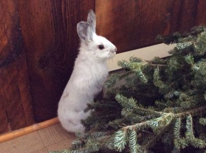 Snowshoe Hare (3)