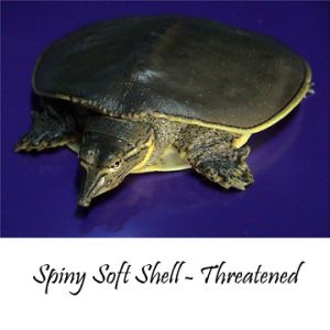 Spiny Soft Shell