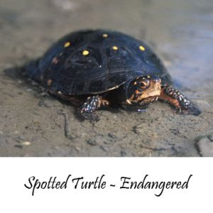 Spotted-turtle