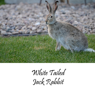 White Tailed Jack Rabbit