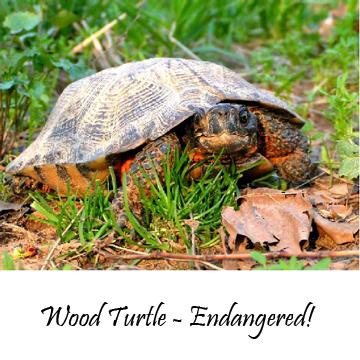 Wood-turtle
