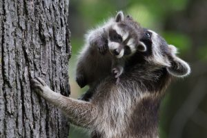 A Mama Raccoon carries one of her little ones up a tree.