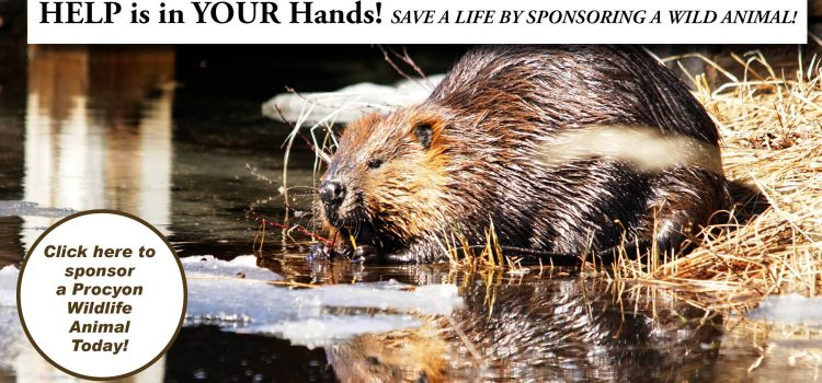 April 7th is International Beaver Day!