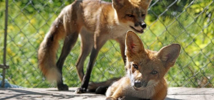 Freedom Day, for our Beautiful Fox Kits, Sept 5th, 2019