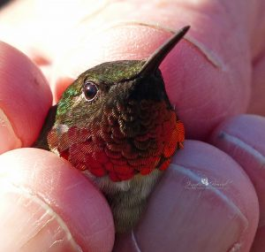 Jennifer Howard: The one with hummer in hand was at a hummingbird banding workshop. I heard its heart beat and chirping at my ear and was able to release one as well. Incredible.