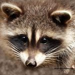 baby coon 1