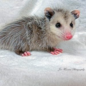 Opossum - sponsorship levels