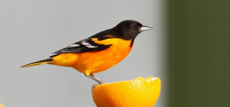You know it's really spring when the Hummingbirds and Baltimore Orioles arrive!