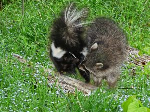 baby-skunk-and-coon-1