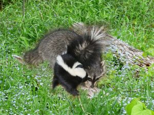 baby-skunk-and-coon-2
