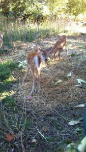 fawns-enjoying-corn-2
