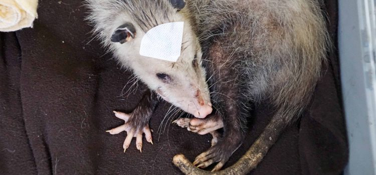 Gracey the Opossum and her Five Little Surprises
