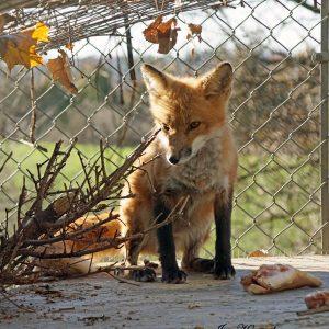 Foxes - sponsorship levels