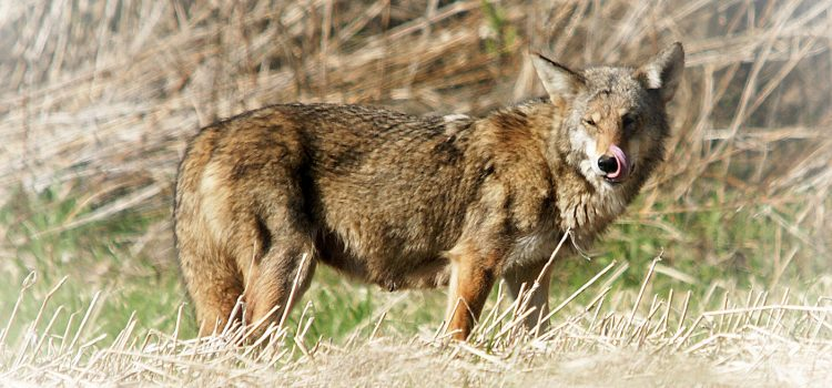 National Coyote Day on March 23rd