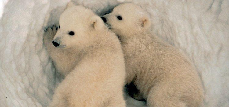 International Polar Bear Day on Feb 27th