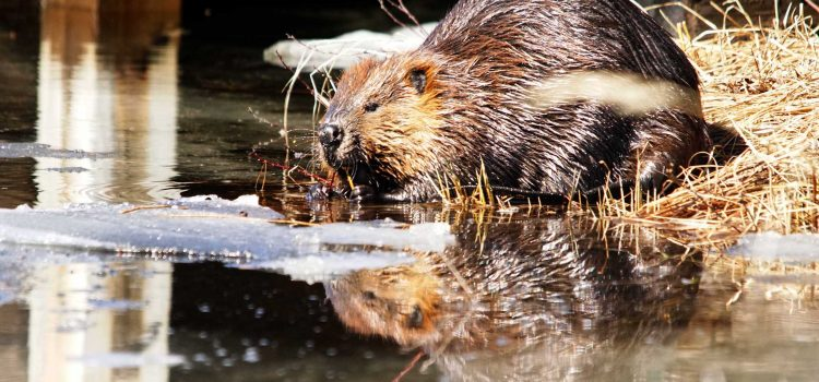 International Beaver Day is April 7th!