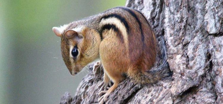 World Chipmunk Day is March 22nd!