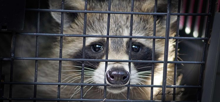 It is a myth that live trapping and relocating wildlife is a humane solution